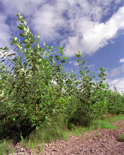 Cottonwood energy crop